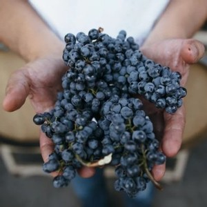 The Wonder of Harvest at Amista Vineyards, Sonoma County