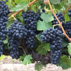 Amista Syrah Grapes